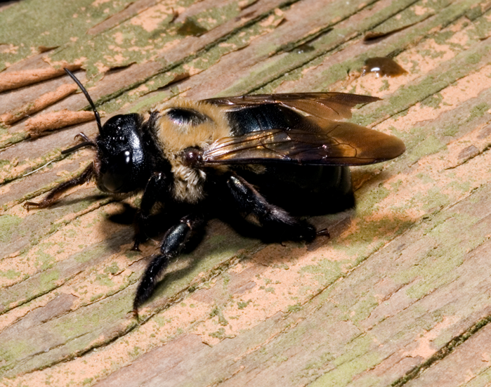 how to keep carpenter bees away from your home