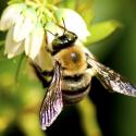bumble-bee-ecotech-pest-control