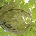 hornet-nest-ecotech-pest-control