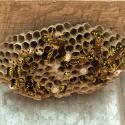 yellow-jacket-nest-ecotech-pest-control