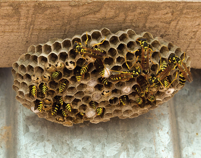 Gallery Yellow Jacket Nest