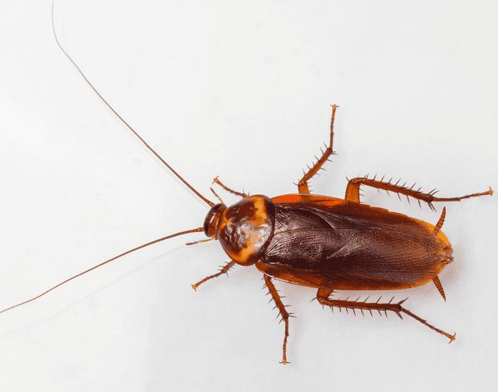EcoTech Pest Control - American Cockroach