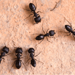 Carpenter Ants EcoTech Pest Control