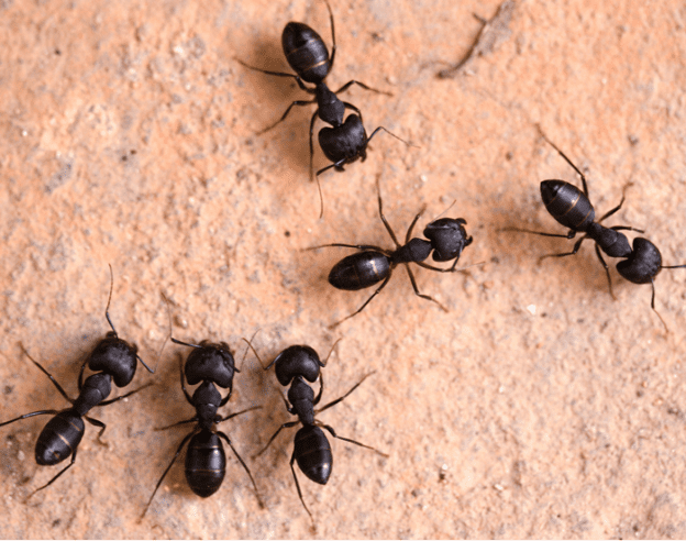 Ant control services suffolk county,ny ecotech pest control