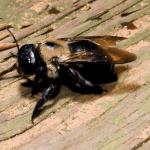 Carpenter Bee EcoTech Pest Control