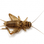 Cricket EcoTech Pest Control