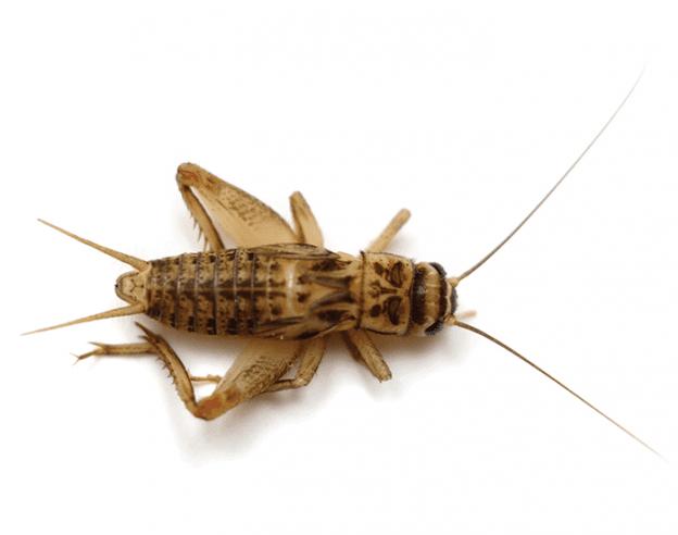 Crickets EcoTech Pest Control