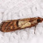 Grain Moth EcoTech Pest Control