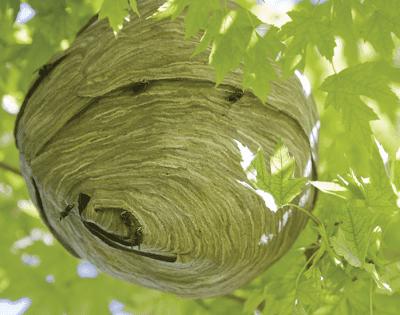 Hornet Nest EcoTech Pest Control