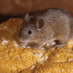 House Mouse EcoTech Pest Control