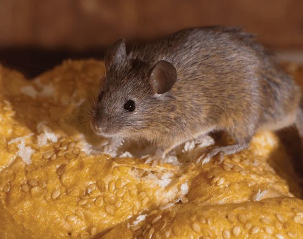 House Mouse EcoTech Pest Control