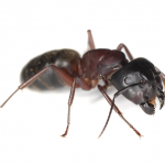 Odorous House Ants EcoTech Pest Control