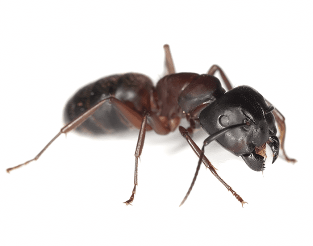 Odorous House Ants EcoTech Pest Control