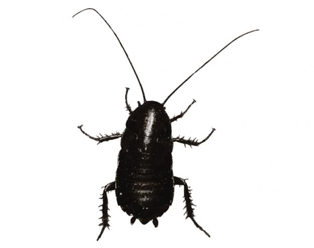Oriental Cockroach EcoTech Pest Control