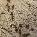 Pavement Ants EcoTech Pest Control