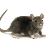 Rats EcoTech Pest Control Long Island
