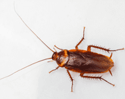 American Cockroach EcoTech Pest Control - Long Island