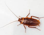 American Cockroach EcoTech Pest Control - Long Island