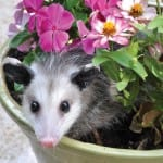 Possum Infestation EcoTech Pest Control