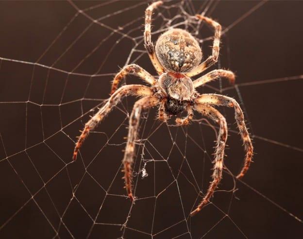 Spider - EcoTech Pest Control