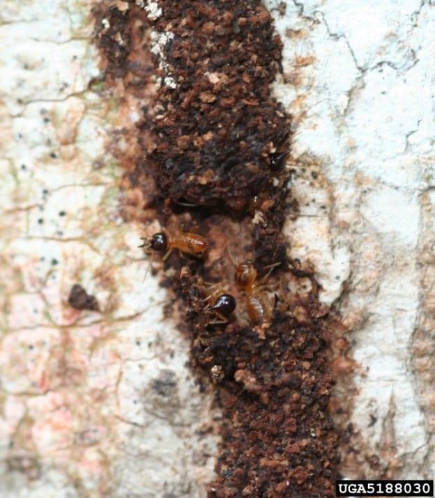 Termite Mud Tracks