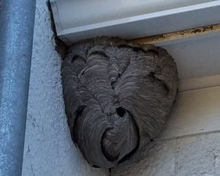 bald faced hornet nest - Long Island
