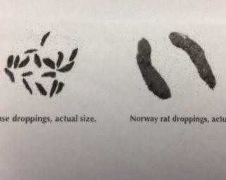 mice rat droppings